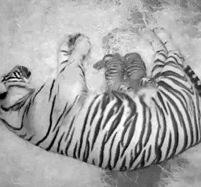 Bίντεο ημέρας: Η συγκινητική στιγμή που τίγρης φέρνει στον κόσμο τα δύο τιγράκια της - Κυρίως Φωτογραφία - Gallery - Video