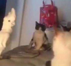 """Δείτε το ξεκαρδιστικό βίντεο με έναν παπαγάλο που νομίζει ότι είναι μέλος μιας """"συμμορίας"""" με γάτες  - Κυρίως Φωτογραφία - Gallery - Video"""