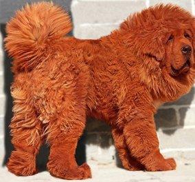 Αυτό είναι το ακριβότερο είδος σκύλου! Θαυμάστε το φουντωτό Θιβετιανό Μαστίφ   - Κυρίως Φωτογραφία - Gallery - Video