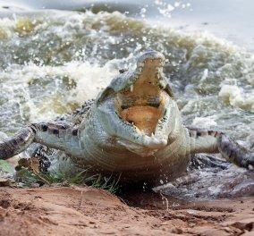 Βίντεο που κόβει την ανάσα: Κροκόδειλος κολυμπά δίπλα σε 14χρονο λίγο πριν του επιτεθεί με μένος - Κυρίως Φωτογραφία - Gallery - Video