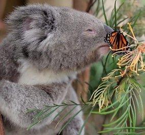 Make your day βίντεο: Μικροσκοπικό κοάλα παίζει με χαριτωμένη πεταλούδα - Το αποτέλεσμα είναι απολαυστικό - Κυρίως Φωτογραφία - Gallery - Video
