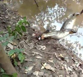 Το μικρό ψάρι ''έφαγε''... τον γίγαντα:  Kροκόδειλος δάγκωσε ηλεκτροφόρο χέλι και πέθανε ακαριαία - Κυρίως Φωτογραφία - Gallery - Video