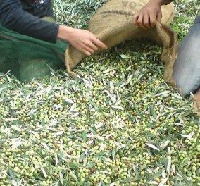 Οι πρόσφυγες της Μυτιλήνης μαζεύουν ελιές και βγάζουν το δικό τους λάδι  - Κυρίως Φωτογραφία - Gallery - Video