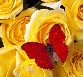 12 διαφορετικά χρώματα τριαντάφυλλων: Τι σημαίνει το καθένα; - Κυρίως Φωτογραφία - Gallery - Video