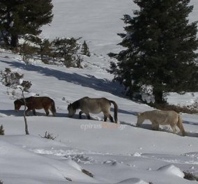 Good news: Δείτε καρέ- καρέ την συγκλονιστική διάσωση 20 αλόγων στην ορεινή Ήπειρο  - Κυρίως Φωτογραφία - Gallery - Video
