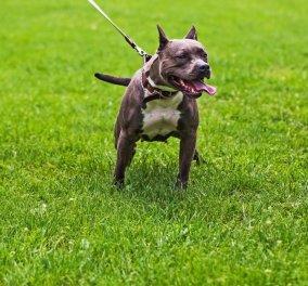 Bull Terrier κατασπάραξε τον Μάριο Περιβόητο μέσα στο διαμέρισμά του - Κυρίως Φωτογραφία - Gallery - Video