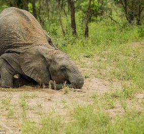 Άγρια ζώα τρώνε ένα αλκοολούχο φυτό, μεθούν & γίνεται το έλα να δεις στη ζούγκλα -Βίντεο - Κυρίως Φωτογραφία - Gallery - Video