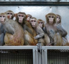 Εμβόλιο που μπλοκάρει την ευφορία όταν παίρνεις ηρωίνη δοκιμάστηκε & πέτυχε σε μαϊμούδες - Κυρίως Φωτογραφία - Gallery - Video