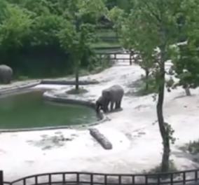 Βίντεο της ημέρας: Δύο ελέφαντες σώζουν το μικρό τους που λίγο έλειψε να πνιγεί - Κυρίως Φωτογραφία - Gallery - Video