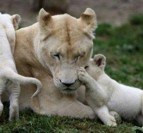 Τσεχία- σπανιότατα γεννητούρια: Δείτε τα πέντε λευκά λιοντάρια που γεννήθηκαν σε ζωολογικό κήπο  - Κυρίως Φωτογραφία - Gallery - Video