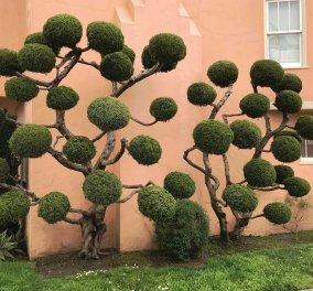 Το κούρεμα των δένδρων είναι τέχνη: Οι φωτό από μερακλήδες κηπουρούς του Σαν Φρανσίσκο - Κυρίως Φωτογραφία - Gallery - Video