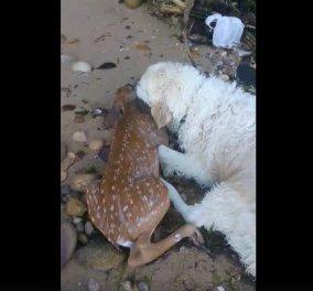 Καρέ - καρέ - Σκύλος με αισθήματα : Σώζει ένα ελάφι που πνίγεται και βουτάει να το βγάλει έξω (ΦΩΤΟ-ΒΙΝΤΕΟ) - Κυρίως Φωτογραφία - Gallery - Video