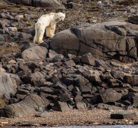 Σοκαριστική φωτογραφία: αρκούδα αργοπεθαίνει από την πείνα - Κυρίως Φωτογραφία - Gallery - Video