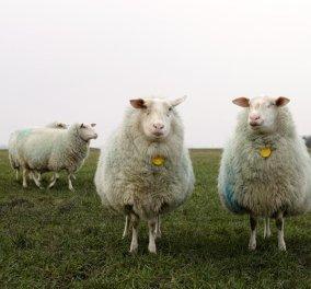 Μια ταινία διάρκειας 8 ωρών… με πρόβατα! -  Υπόσχεται στους θεατές ότι θα κοιμηθούν (ΒΙΝΤΕΟ) - Κυρίως Φωτογραφία - Gallery - Video