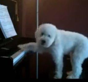 Βίντεο ραγίζει καρδιές: Ο σκύλος μένει μονός στο σπίτι και ανεβαίνει στο πιάνο για να παίξει... - Κυρίως Φωτογραφία - Gallery - Video