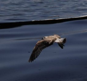 Συνεχίζεται η απορρύπανση της παράκτιας ζώνης στην Αττική από την πετρελαιοκηλίδα - Κυρίως Φωτογραφία - Gallery - Video