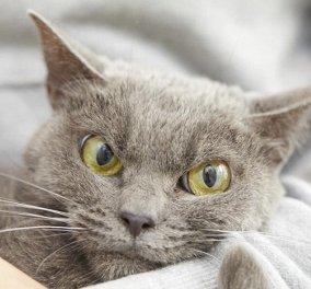 Φωτό : ο Σάμο είναι ο πιο θυμωμένος πρασινομάτης γάτος στον κόσμο - χμ μην τα βάλετε μαζί του - Κυρίως Φωτογραφία - Gallery - Video