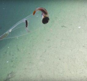 Εντυπωσιακό υποβρύχιο βίντεο: Το «γυάλινο καλαμάρι» που κατέγραψαν στο βυθό - Κυρίως Φωτογραφία - Gallery - Video