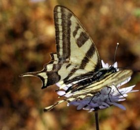 Ρόδος: Ανακαλύφθηκε μοναδικό είδος στον κόσμο νυχτοπεταλούδας  - Κυρίως Φωτογραφία - Gallery - Video