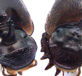 Σκαθάρι με 3 μάτια δημιούργησαν Αμερικανοί επιστήμονες & όχι δεν είναι από το Game of Thrones - Κυρίως Φωτογραφία - Gallery - Video