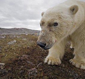 Συγκινητικό βίντεο του national geographic : Πολική αρκούδα πεθαίνει από την πείνα - Κυρίως Φωτογραφία - Gallery - Video