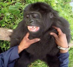 Το βίντεο της ημέρας: Αξιαγάπητος γοριλάκος ξετρελαίνεται όταν τον γαργαλάνε! - Κυρίως Φωτογραφία - Gallery - Video