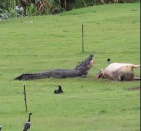 Το βίντεο της ημέρας: Τεράστιος κροκόδειλος καταβρόχθισε ολόκληρη αγελάδα  - Κυρίως Φωτογραφία - Gallery - Video