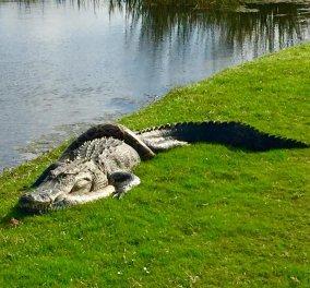 Εντυπωσιακές φωτογραφίες από την μάχη Αλιγάτορα με Πύθωνα σε γήπεδο γκολφ της Φλόριντα   - Κυρίως Φωτογραφία - Gallery - Video