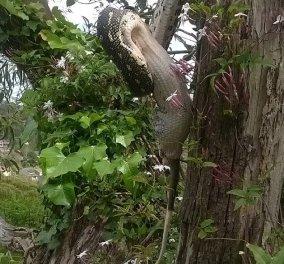 Βίντεο: Ασύλληπτο! Πυθώνας καταπίνει ζωντανό ένα πόσουμ κρεμασμένος από ένα δέντρο! - Κυρίως Φωτογραφία - Gallery - Video
