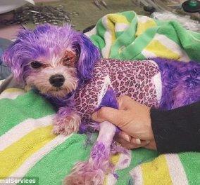 Απίστευτο story: Ιδιοκτήτης σκύλου τον έβαψε μοβ & εκείνο παραλίγο να πεθάνει  - Κυρίως Φωτογραφία - Gallery - Video
