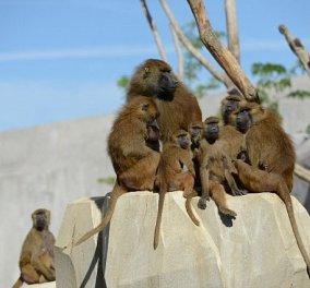 Γαλλία: 50 επικίνδυνοι Μπαμπουίνοι δραπέτευσαν από τον ζωολογικό κήπο & έγινε πανικός (ΦΩΤΟ) - Κυρίως Φωτογραφία - Gallery - Video