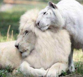 Απίστευτη κτηνωδία λαθροκυνηγών- Σκότωσαν και έφαγαν σπάνιο λευκό λιοντάρι - Κυρίως Φωτογραφία - Gallery - Video