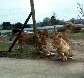 Φωτό - βίντεο: Η τρομακτική στιγμή της επίθεσης αγέλης λιονταριών σε αυτοκίνητο με δυο παιδάκια   - Κυρίως Φωτογραφία - Gallery - Video