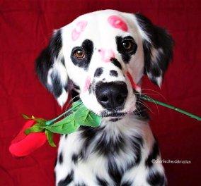 Το όνομα του; Charlie: Ο σκύλος Δαλματίας που έχει καρδιές γύρω από τα μάτια του! (ΦΩΤΟ - ΒΙΝΤΕΟ) - Κυρίως Φωτογραφία - Gallery - Video