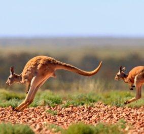 Αμέτρητα τα καγκουρό σε δρόμο της Αυστραλίας - Ο οδηγός έχασε το μέτρημα (ΒΙΝΤΕΟ) - Κυρίως Φωτογραφία - Gallery - Video