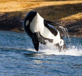 Βίντεο: Αυτή η φάλαινα δολοφόνος έχει μάθει να λέει «γεια» & «αντίο» - Απολαύστε την!  - Κυρίως Φωτογραφία - Gallery - Video