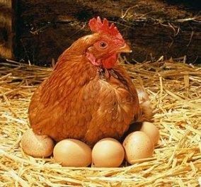 Παράξενο φαινόμενο στην Αργολίδα- Κότες γεννούν... πράσινα αβγά! (ΦΩΤΟ- ΒΙΝΤΕΟ) - Κυρίως Φωτογραφία - Gallery - Video
