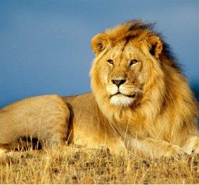 Λιοντάρι άρπαξε τον άνθρωπο που το φρόντιζε στο κλουβί του και τον σκότωσε (ΦΩΤΟ) - Κυρίως Φωτογραφία - Gallery - Video