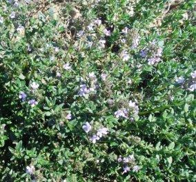 To WikiFarmer & eirinika παρουσιάζουν: Καλλιεργήστε το μυρωδάτο θυμάρι στην αυλή - Όσα πρέπει να γνωρίζετε  - Κυρίως Φωτογραφία - Gallery - Video