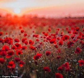 Τα λουλούδια του Απρίλη -Πασχαλιά, πασιφλόρα, κρίνος της Παναγίας, παπαρούνα    - Κυρίως Φωτογραφία - Gallery - Video