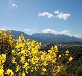 Mεταμορφώνει με κίτρινο το Λακωνικό τοπίο - Ώρα να γνωρίσουμε το Σπάρτο - Κυρίως Φωτογραφία - Gallery - Video