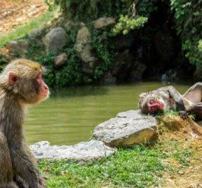 Νεκρό βρέθηκε ένα βρέφος 16 ημερών που είχε απαχθεί από πίθηκο - μακάκο μπροστά στη μητέρα του - Κυρίως Φωτογραφία - Gallery - Video