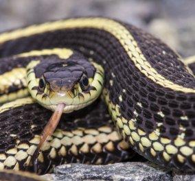 Απίστευτο! Πατέρας ανακάλυψε θανατηφόρο φίδι μέσα στο δωμάτιο της κορούλας του & ανάμεσα στα παιχνίδια της! (ΒΙΝΤΕΟ) - Κυρίως Φωτογραφία - Gallery - Video