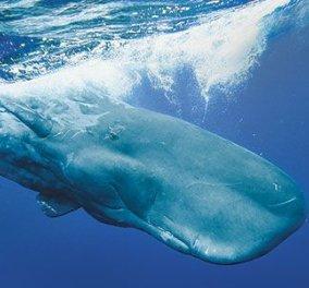 Απίστευτο! Τι βρήκαν στο στομάχι της φάλαινας που ξεβράστηκε στη Σαντορίνη - Κυρίως Φωτογραφία - Gallery - Video