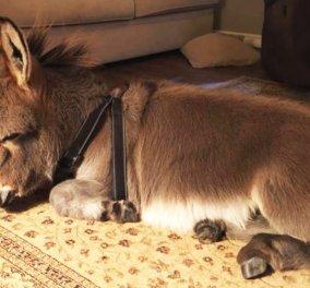 """Αυτό το χαριτωμένο γαϊδουράκι θα σας """"κλέψει"""" την καρδιά! Νομίζει ότι είναι σκύλος & συμπεριφέρεται αναλόγως! (ΒΙΝΤΕΟ) - Κυρίως Φωτογραφία - Gallery - Video"""