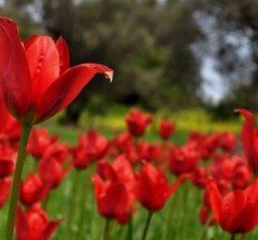 """Λαλάδες: Το μοναδικό κόκκινο """"φαινόμενο"""" με τις άγριες τουλίπες στον κάμπο της Χίου (ΒΙΝΤΕΟ) - Κυρίως Φωτογραφία - Gallery - Video"""