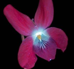 Φαντασμαγορικά λουλούδια που λάμπουν στο υπεριώδες φως από τον καλλιτέχνη Craig Burrows (ΦΩΤΟ)  - Κυρίως Φωτογραφία - Gallery - Video