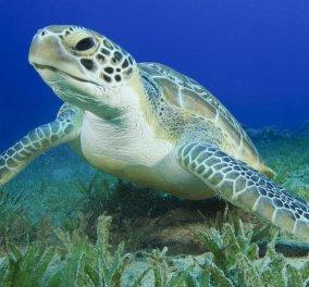 Αργολίδα: Είδαν τις χελώνες να κάνουν έρωτα μέσα στη θάλασσα & τις κατέγραψαν με το κινητό (ΒΙΝΤΕΟ) - Κυρίως Φωτογραφία - Gallery - Video