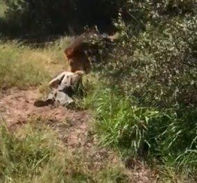 ΒΙΝΤΕΟ: Η τρομακτική στιγμή που το αρσενικό λιοντάρι αρπάζει το αφεντικό του & το σέρνει δαγκώνοντας όπου μπορεί - Κυρίως Φωτογραφία - Gallery - Video