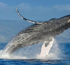 Bίντεο: Η στιγμή που η φάλαινα πετάγεται ψηλά & λούζει στην κυριολεξία τους τουρίστες! - Κυρίως Φωτογραφία - Gallery - Video